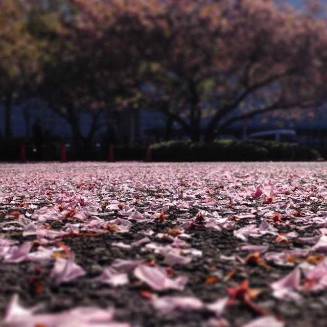 雨上がりの朝、散った桜を前にした掃除のおじさんの名言