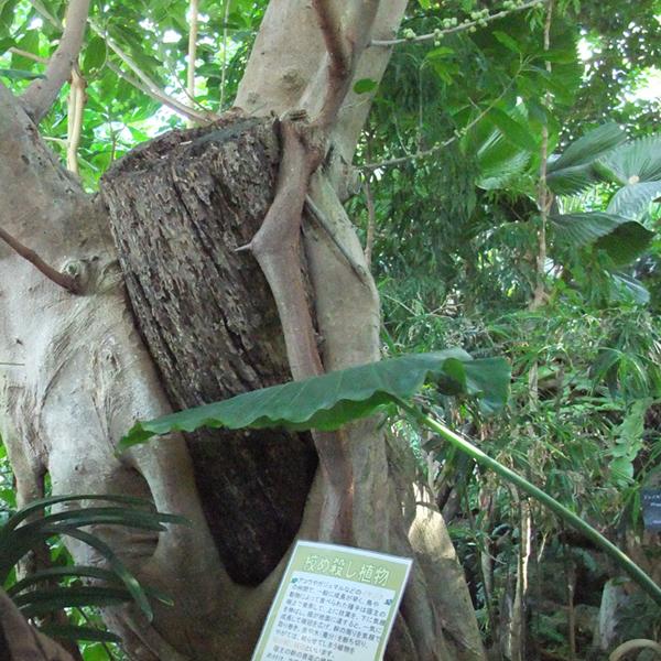 シメコロシノ木