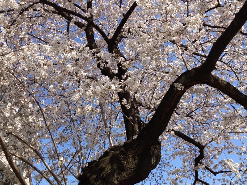 練馬区北町の桜